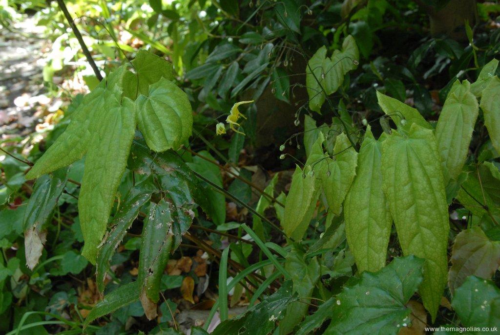 Epimedium wushanense OG.93020