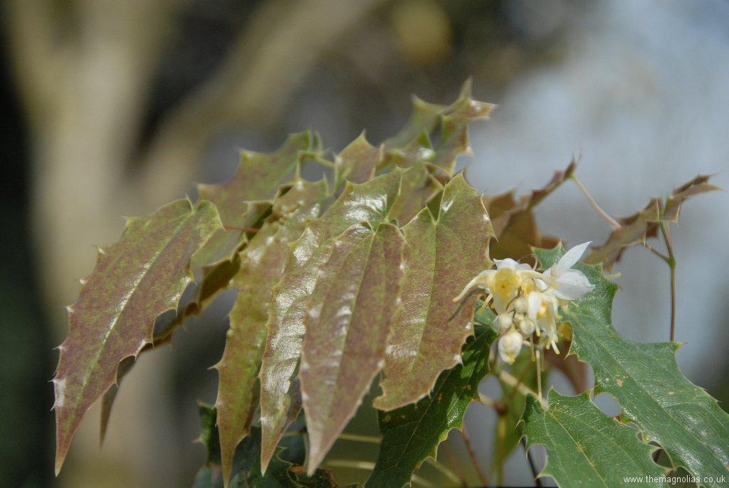 Epimedium wushanense 'Spiny Leaved Form'