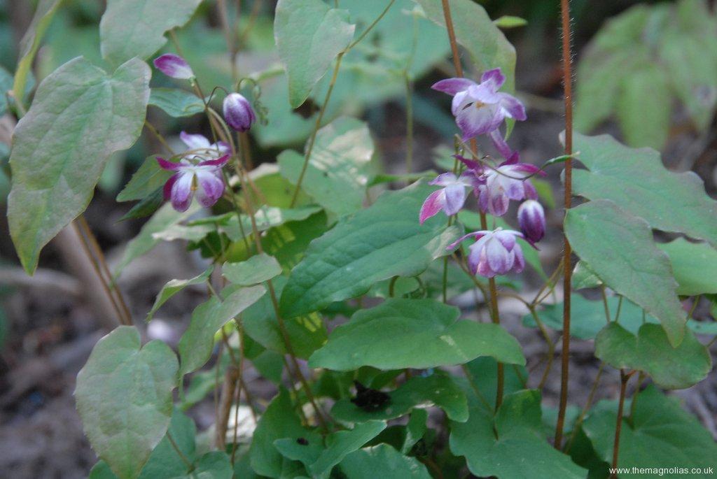 Epimedium x youngianum 'Merlin'