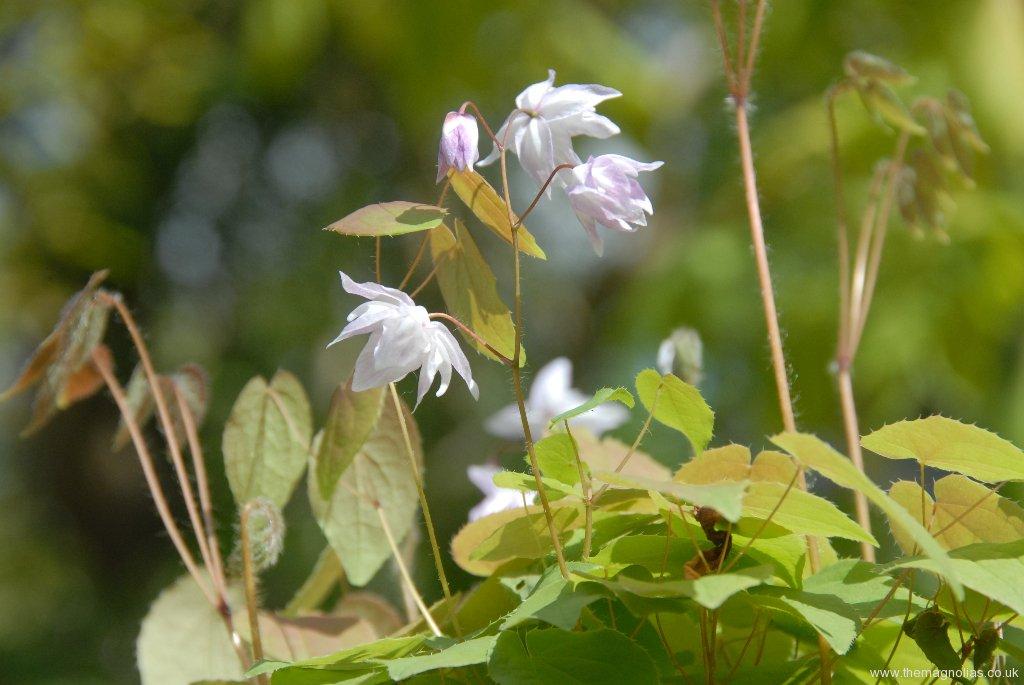 Epimedium x youngianum 'Tamabotan'