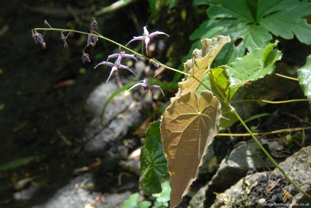 Epimedium zushanense