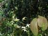Epimedium 'Egret'