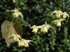 Epimedium 'Flowers of Sulphur'
