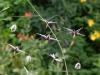 Epimedium 'Heavenly Purple'