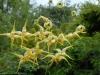 Epimedium 'Honeybee' (flavum x wushanense)