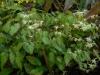 Epimedium Marchant hybrid from E. g. 'Nanu'