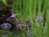 Epimedium 'Rubin Krone'