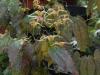 Epimedium 'Wildside Amber'