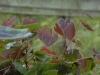 Epimedium 'Wildside Ruby'