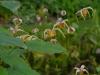 Epimedium acuminatum x davidii