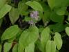 Epimedium diphyllum pink
