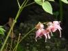 Epimedium grandiflorum 'Akagiza Kura'