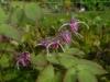 Epimedium grandiflorum 'Wildside Red'