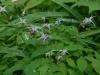 Epimedium grandiflorum lilac pink
