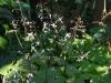 Epimedium pubescens (early flowering)