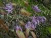 Epimedium sempervirens 'Violet Queen'