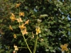 Epimedium x warlewense 'Orangekonigin'