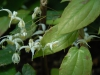 Epimedium acuminatum 'Galaxy'