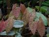 Epimedium 'Arctic Wings' new foliage