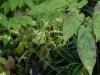 Epimedium chlorandrum