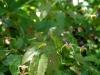 Epimedium davidii x acuminatum from Spinners Nursery