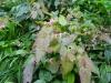 Epimedium davidii x acuminatum