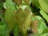 Epimedium \'Flowers of Sulphur\' new leaves