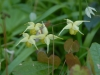 Epimedium \'Flowers of Sulphur\'