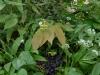 Epimedium franchettii 'Brimstone Butterfly'