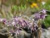 Epimedium 'Buckland Spider'