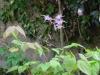 Epimedium grandiflorum 'Lilacinum'