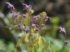 Epimedium grandiflorum 'Rubin Krone'