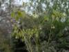 Epimedium grandiflorum subsp. koreanum