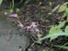 Epimedium grandiflorum similar to  'Tam No Gempei'