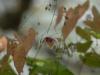 Epimedium 'Madame Butterfly'