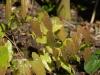 Epimedium milianthemum - new Japanese Species? from Edrum Nursery