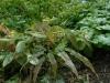 Epimedium own seedling, 2nd to flower