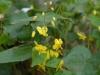 Epimedium perralderianum