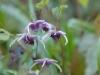 Epimedium 'Phoenix' -flowers