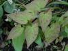 Epimedium 'Phoenix' -new leaves