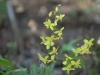 Epimedium pinnatum colchicum L321