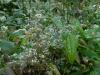 Epimedium pubescens from Washfield Nursery