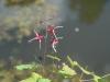 Epimedium 'Red Maximum' - top of flowers