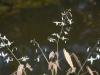 Epimedium stellulatum 'Yukiko'