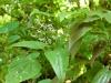 Epimedium species from Chen Yi