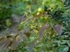 Epimedium species aff. fangii