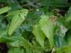 Epimedium species from Chen Yi sagittatum?