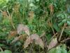 Epimedium Species From Chen Yi Possibly E. elongatum