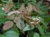 Epimedium Species From Chen Yi E. acuminatum?