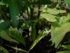 Epimedium Species Nova from Yunnan from Desirable Plants